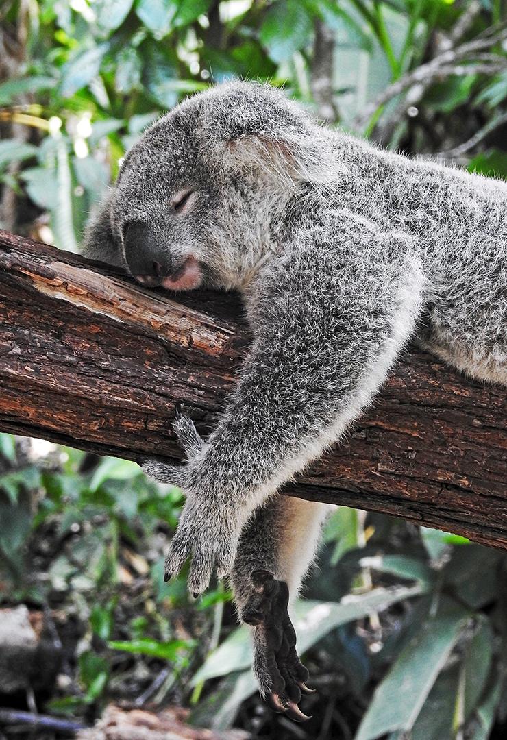 koala addormentato Photo by David Clode on Unsplash