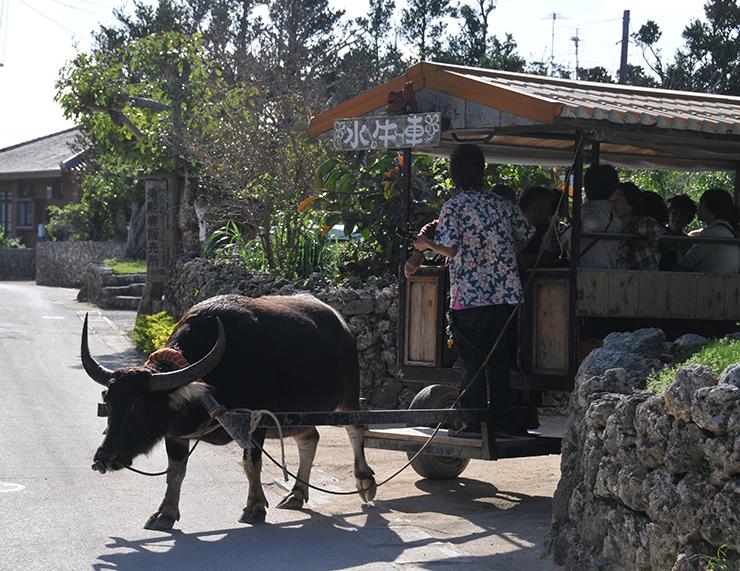 © OCVB OKINAWA water buffalo