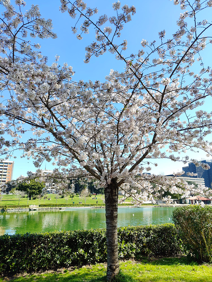 """Sakura alla """"Passeggiata del Giappone"""", nel parco del Lago dell'Eur a Roma"""